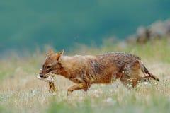 金黄狐狼,葡萄球菌的犬属,与草甸, Madzharovo,东Rhodopes,保加利亚的哺养的场面 野生生物巴尔干 豺狗behaviou 库存图片