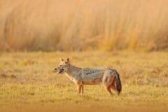 金黄狐狼,葡萄球菌的犬属 与晚上太阳和动物骨头在geass,斯里兰卡,亚洲的狐狼 从natu的美好的野生生物场面 库存图片