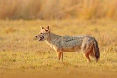 金黄狐狼,葡萄球菌的犬属 与晚上太阳和动物骨头在geass,斯里兰卡,亚洲的狐狼 从natu的美好的野生生物场面 免版税库存图片