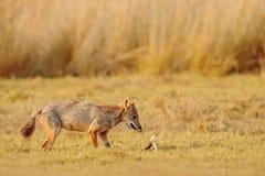 金黄狐狼,葡萄球菌的犬属 与晚上太阳和动物骨头,斯里兰卡,亚洲的狐狼 从自然habita的美好的野生生物场面 库存照片