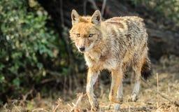 金黄狐狼 库存图片