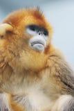 金黄狮子鼻猴子在2016年 库存照片