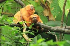 金黄狮子绢毛猴 库存照片