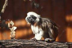 金黄狮子绢毛猴 图库摄影
