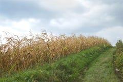 金黄玉米田在秋天 库存照片