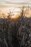 金黄玉米田在秋天 免版税库存图片