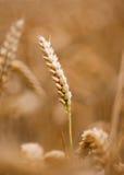 金黄玉米穗在庄稼的领域的 免版税库存照片