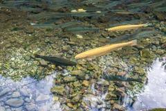 金黄白变种和普通的鳟鱼在山小河01 库存照片