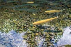 金黄白变种和普通的鳟鱼在山小河02 库存图片