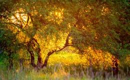 金黄轻的日落和树 免版税库存照片