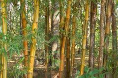 金黄的竹子 库存图片