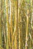 金黄的竹子 免版税库存照片