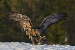 金黄的老鹰 库存照片