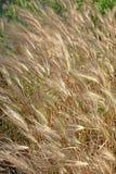 金黄的麦子 免版税图库摄影