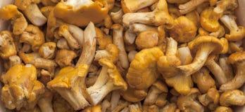 金黄的黄蘑菇 图库摄影