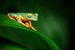 金黄目的叶子青蛙, Cruziohyla calcarifer,池蛙坐叶子,雨蛙在自然栖所, Corcovado,肋前缘 免版税库存照片