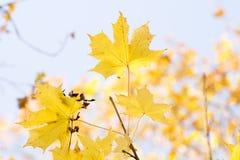 金黄秋叶和水色天空 免版税图库摄影