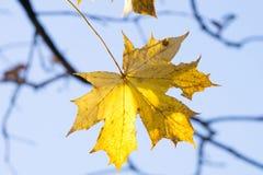 金黄秋叶和水色天空 免版税库存照片