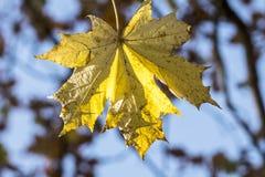 金黄秋叶和水色天空 免版税库存图片