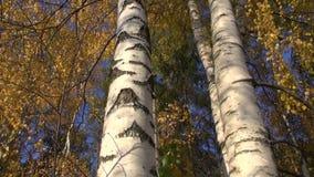 金黄秋天桦树树干在森林里 股票录像
