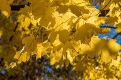 金黄秋天槭树叶子 库存图片