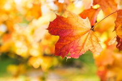 金黄秋天,红色叶子 秋天,季节性自然,美丽的叶子 免版税库存图片