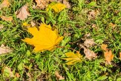 金黄秋天 在绿草的黄色枫叶 落的叶子在公园 库存照片