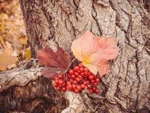 金黄秋天 明亮的束荚莲属的植物莓果在森林 免版税图库摄影