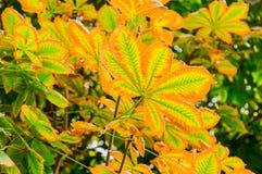 金黄秋天 欧洲七叶树在秋天公园 在树的黄色叶子 叶子秋天 免版税库存图片