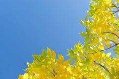 金黄秋天黄色离开反对清楚的蓝天 免版税图库摄影