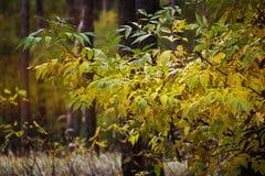 金黄秋季森林黄色秋天树在森林里 免版税库存照片
