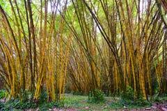 金黄竹子在考艾岛海岛 免版税库存图片