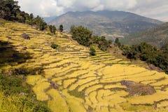 金黄米领域在尼泊尔 库存图片