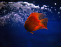 金黄红色鱼水下sweaming  库存照片