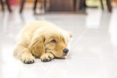 金黄纵向小狗猎犬 免版税库存图片