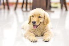 金黄纵向小狗猎犬 库存图片