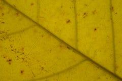 金黄黄色叶子纹理样式 库存图片