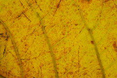金黄黄色叶子纹理样式 库存照片