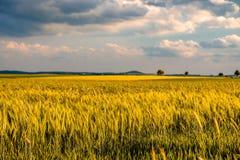 金黄黄色麦田在温暖的阳光在剧烈的天空下,新充满活力的颜色下 免版税图库摄影