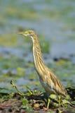 金黄苍鹭- ardeola ralloides 库存图片