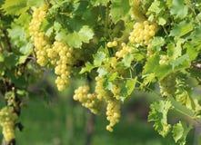 金黄葡萄在葡萄园里 免版税图库摄影