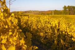金黄葡萄树叶子 库存图片