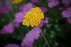 金黄洋蓍草 库存图片