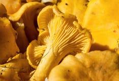金黄黄蘑菇特写镜头  鸡油菌属cibarius 免版税库存图片