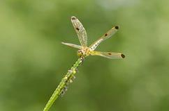金黄蜻蜓特写镜头 免版税库存照片