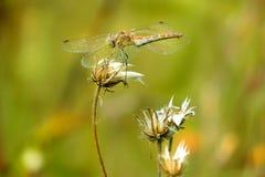 金蜻蜓 库存图片