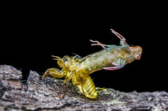 金黄蜕变的蝉 库存图片