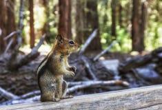 金黄被覆盖的地松鼠在美国加州红杉森林里 免版税库存照片