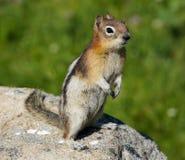 金黄被覆盖的地松鼠在贾斯珀国家公园 图库摄影