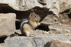 金黄被覆盖的地松鼠-班夫国家公园,加拿大 免版税库存图片